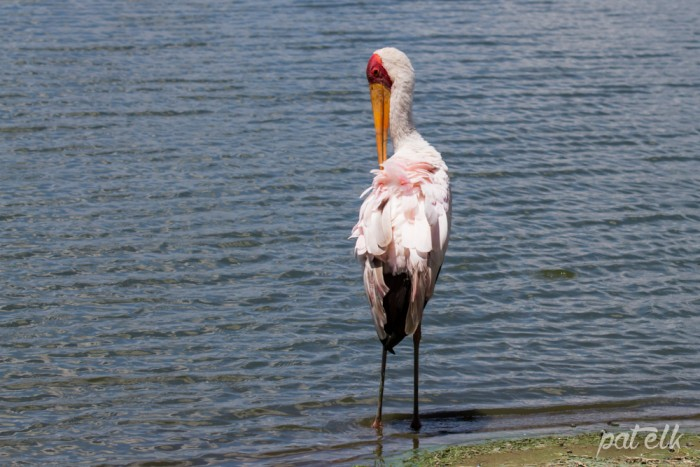 KNP yellow-billed stork