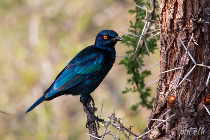 KNP cape glossy starling