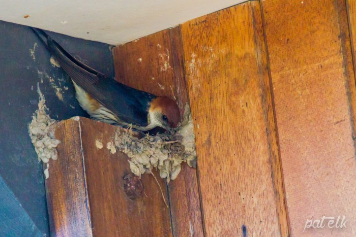 striped swallow nest