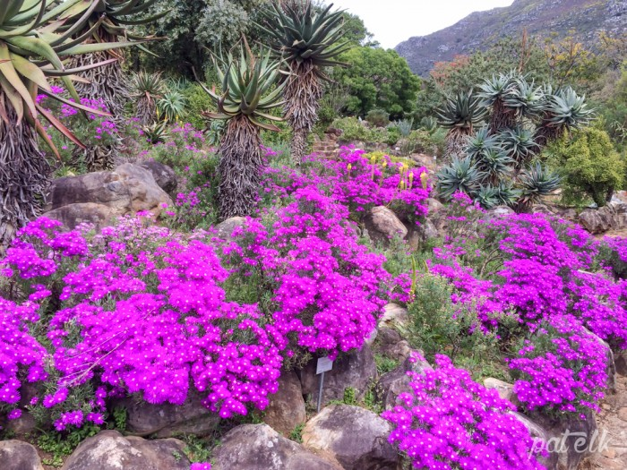 Purple mesems and aloes