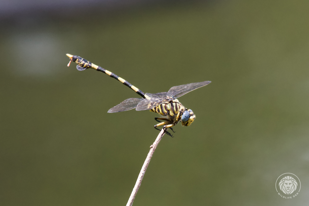 Common tigertail Dragonfly 2